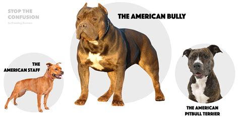 Pit Bull Breeds Also Search For American Staffordshire Terrier Vs Pitbull Difference Www Pit Bull Breed Litle Pups