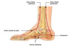 anatomie atlas du humain veines du pied doctissimo