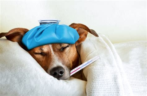 painkiller for dogs what can i give my for healthy paws pet insurance
