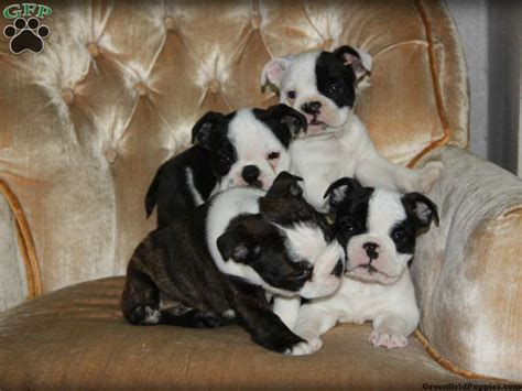 boxer boston terrier mix puppies for sale boston terrier pug mix for sale
