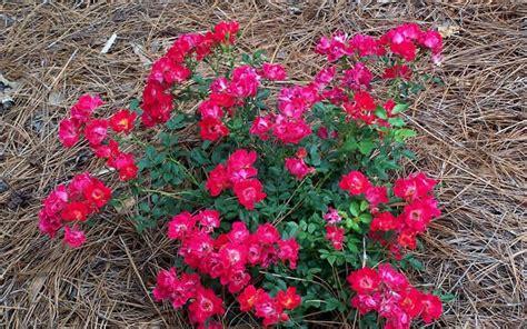 drift roses drift picture gardenality