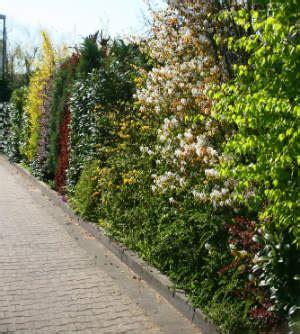 feldahorn als hecke feldahorn als hecke eurogreens kunstpflanzen efeu hecke