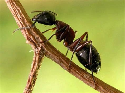 Ant Wallpaper Animals Town