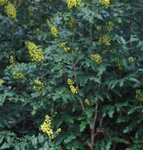 flowering shrubs oregon 1000 images about ph evergreen shrubs on