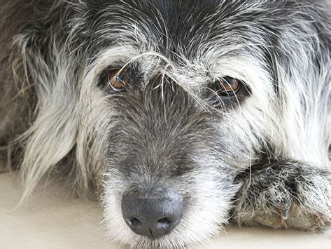 cognitive dysfunction in dogs recognizing canine cognitive dysfunction petmd
