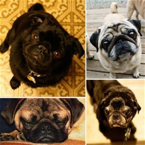 how much do pugs weigh pugpugpug why do pugs make these noises when sniffing