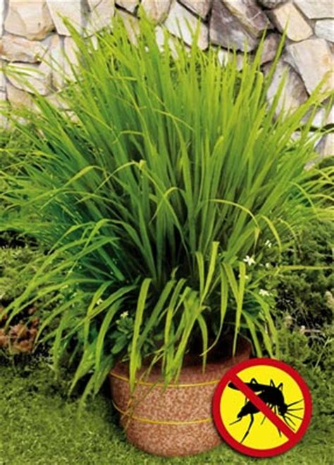 mosquito grass from collections etc