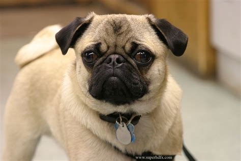 pugs dogs pictures pug hd wallpapers