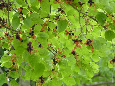 albion trees 187 white mulberry