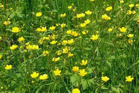 fiore giallo significato significato dei fiori il ranuncolo pollicegreen