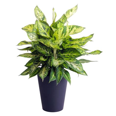 plant l home depot waterwick 6 in dieffenbachia sparkles self watering in