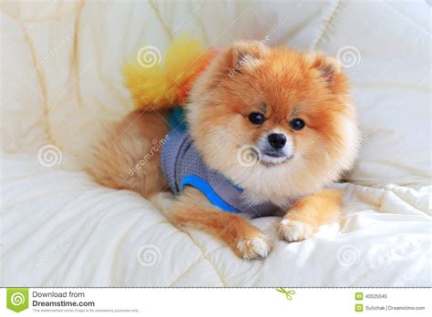 pomeranian bed pomeranian grooming wear clothes on bed stock photo image 40525045