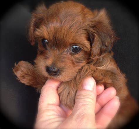 yorkie poo florida yorkie poo for sale in florida michelines pups