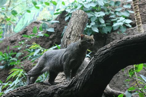 imagenes de animales extinguidos file jaguarundi zoo berlin jpg wikimedia commons