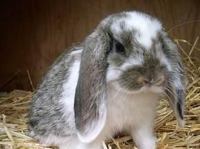 floppy eared rabbit love rabbits pinterest