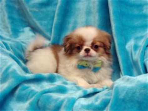japanese chin puppies for sale japanese chin puppies in kansas