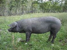 raising backyard pigs how to raise pigs for meat 3 essential tips for