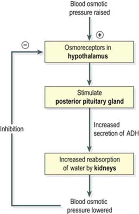 diuretic after c section the endocrine system basicmedical key