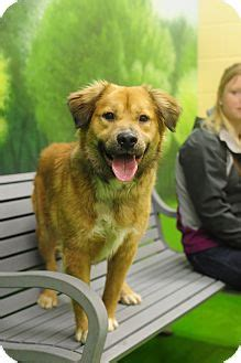 border terrier golden retriever mix nashville tn border terrier golden retriever mix meet zebo a for adoption