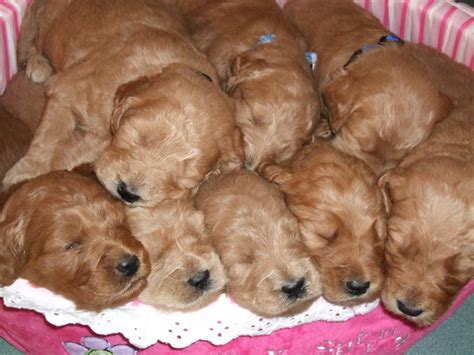 goldendoodle puppy breeders in colorado mini goldendoodles colorado hairstylegalleries