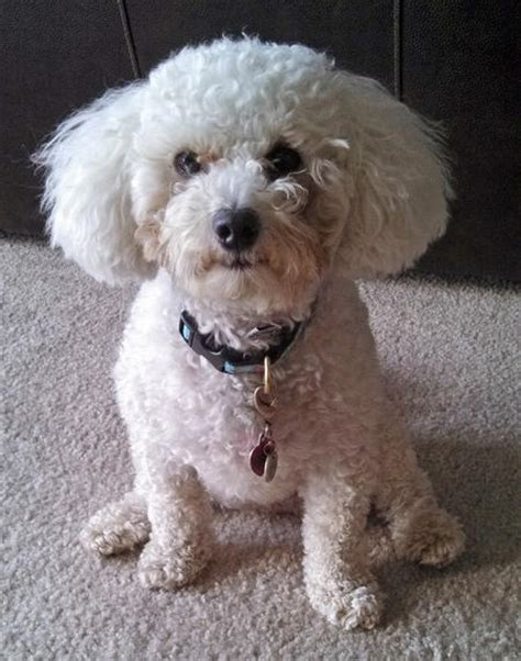 bichon frise poodle lifespan madeline the bichon frise mix dogs daily puppy