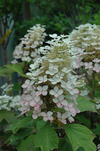 alice hydrangea hydrangea quercifolia alice