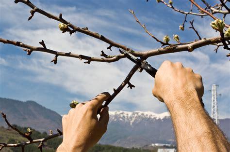 Obstb Ume Pflanzen Wann 4054 by Obstb 228 Ume Richtig Schneiden Anleitung Obstbaumschnitt