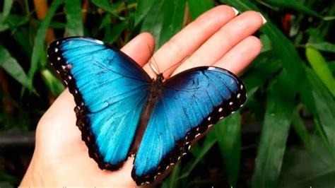 imagenes de mariposas morfo azul mariposa monarca nuevo doodle de google significado de