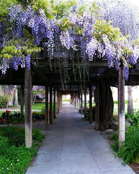 wisteria trellis add some trailing vines to your outdoor arbors to add some