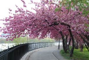 pictures of cherry blossom trees you can make the sun shine anytime cherry blossom math