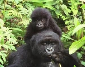 Animals Unique: Eastern Gorilla
