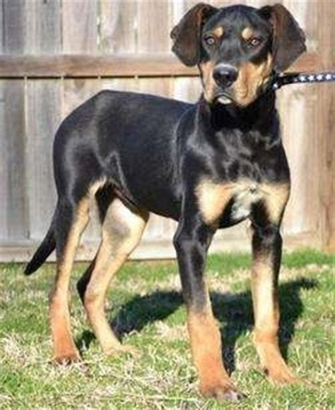 rottweiler schnauzer mix 12 rottweiler cross breeds you to see to believe