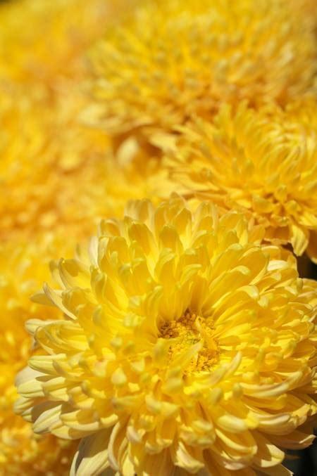 fiori dei morti crisantemi i testi della tradizione di filastrocche it