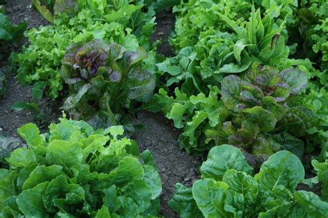 How To Lettuce From Your Garden by How To Grow Lettuce Growing Lettuce Garden Lettuce