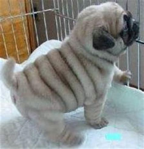pugs for sale eastern cape purebred pug puppies available for sale barkly east free classifieds in south africa