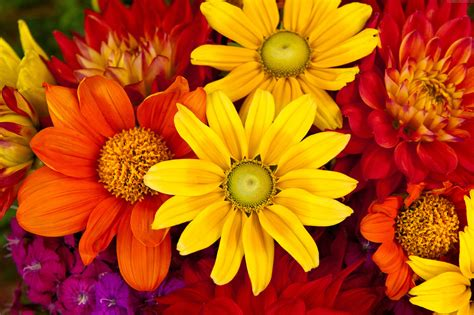 autumn flower gerbera wallpaper nature flowers gerbera autumn