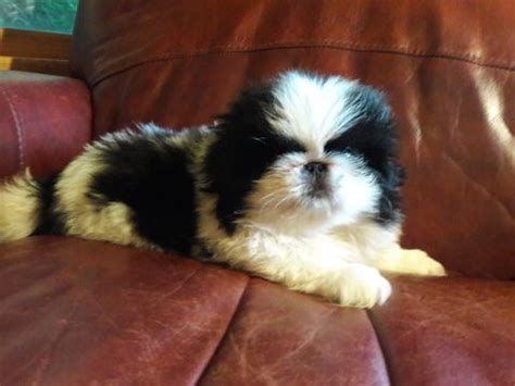 pekingese puppies for sale in nc best 25 pekingese puppies for sale ideas on pekingese puppies pekingese