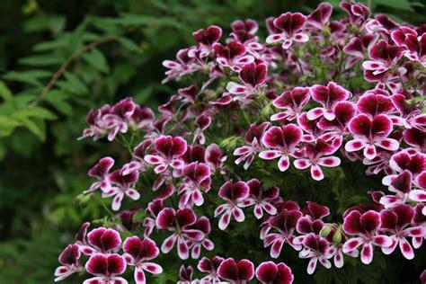 gerani fiori fiori gerani geranio fiori gerani giardino
