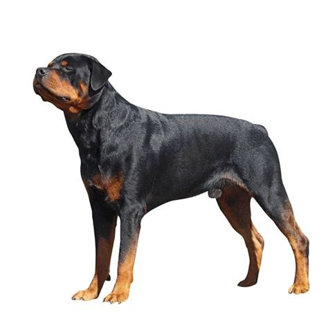 are there different types of rottweilers 25 best ideas about rottweiler on rottweilers rottweiler pups and