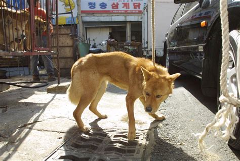 dogs with yellow yellow international aid for korean animals