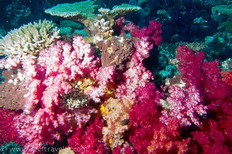 pink coral underwater photos from matangi island fiji reeftraveler