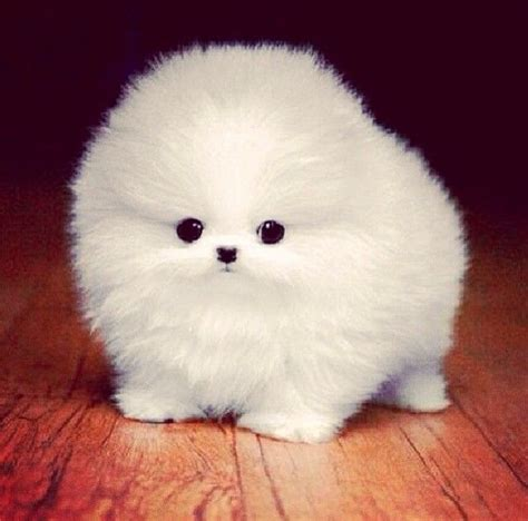 how much is a baby pomeranian 25 best ideas about baby pomeranian on bears baby dogs and