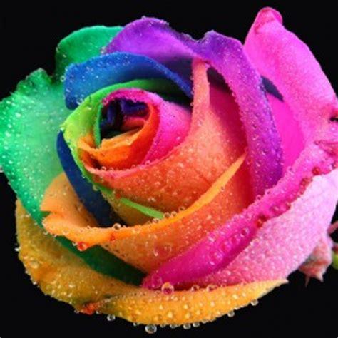 New Benih Biji Mawar Rainbow Colorfull Bunga Pelangi Seed Bibit mawar pelangi jual bibit buah dan bunga premium