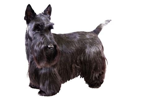 types of scottie grooming styles scottish terrier images reverse search
