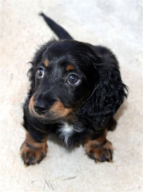 free dachshund puppies in mini longhair dachshund puppy free stock photo domain pictures