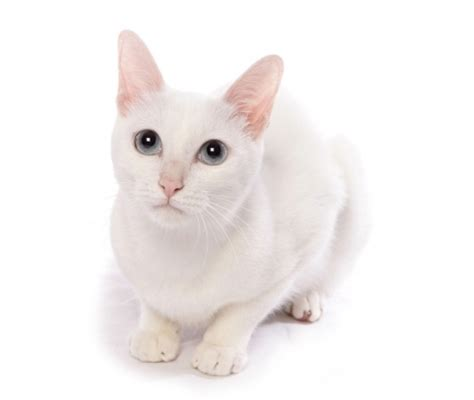 cat facts the pet parent s a to z home care encyclopedia books khao manee cat breed information