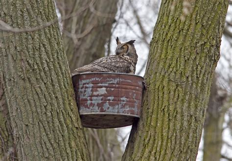 great horned owl nesting box images