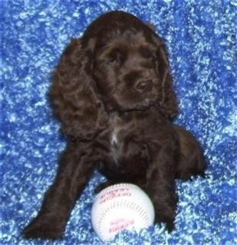 cocker spaniel puppies for sale in ca akc american cocker spaniel puppies for sale san diego ca getpets me