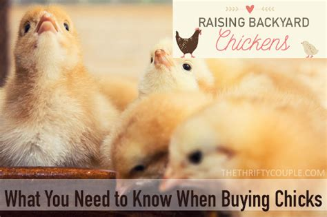 chickens for backyards coupon code raising backyard chickens what you need to know when