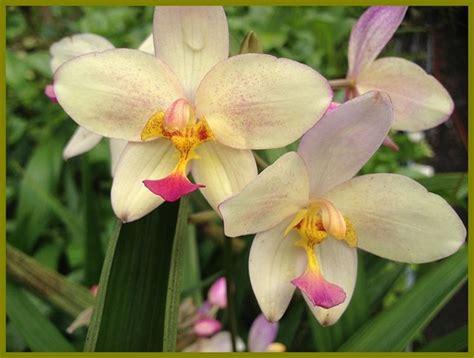orientali fiori fiori orientali vegetazione spontanea coltivare fiori